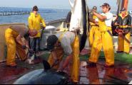 La patronal pesquera espanyola reclama que es puguin pescar fins a 30.000 tones de tonyines l'any vinent