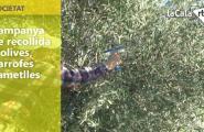 Campanya de recollida d'olives, garrofes i ametlles