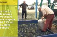 La manca de pluges provocarà una caiguda del 75% en la collita d'olives