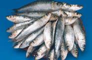Les confraries de l'Ametlla de Mar, Cambrils i Tarragona encarreguen estudis sobre el peix blau
