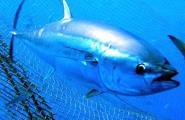 Balfegó arriba a un acord Futuna Blue España per fomentar la reproducció en captivitat de la tonyina roja