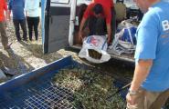 Comença la campanya de l'oliva amb una previsió de menys de 500.000 quilos