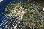 La Cooperativa Agrícola de l'Ametlla de Mar tanca la campanya de l'oliva amb 470.000 quilos