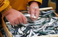 Nou mínim de captures de peix blau en un sector en crisi