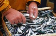 Els pescadors de l'encerclament noten millora en la mida i el preu de la sardina i el seitó